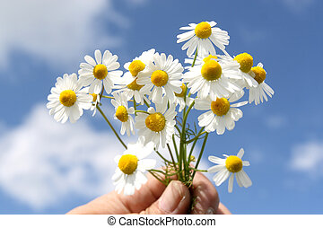 Camomile medicinal (Chamomilla recutita, Matricaria chamomilla L., Chamomilla recutita Rauschert). It is widely used as medical means against fevers, inflammations, The Gastritis, stomach ulcer, neurosises, a hysteria, a neuralgia of a trigeminal nerve