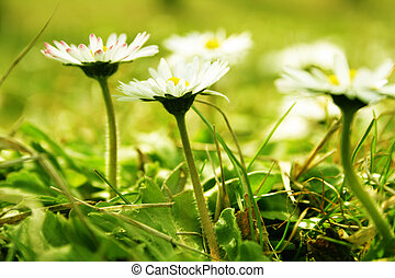 Camomile on a field
