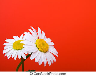 camomile on red background
