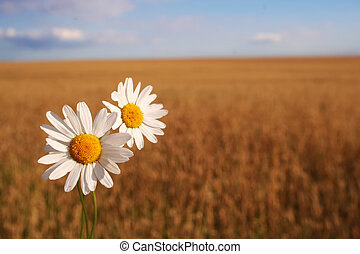 Camomile on the corn field