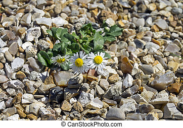 Camomile on the rocks. - Camomile flower, managed to grow on...