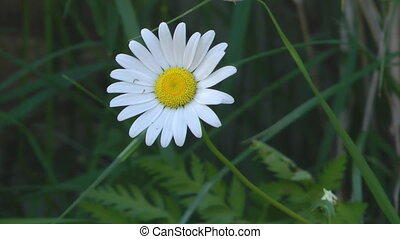Camomile. - White daisy close up.