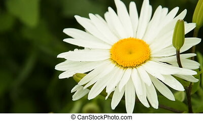 Camomile with rain drops - Close-up shot of camomile with...