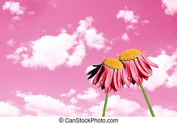 camomiles, 美麗, 上, 粉紅色的天空