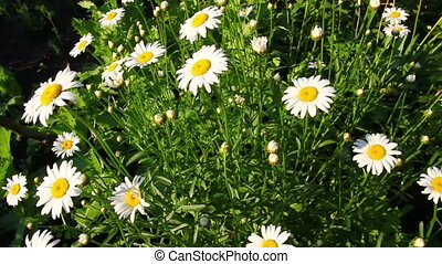 camomiles at summer