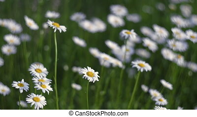 Camomiles fluttering on wind - Blooming camomile fluttering ...
