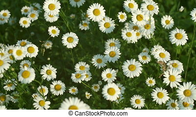 Camomiles fluttering on wind - Top view of blooming camomile...