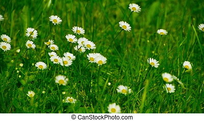 Camomiles - Chamomile swaying  in the wind