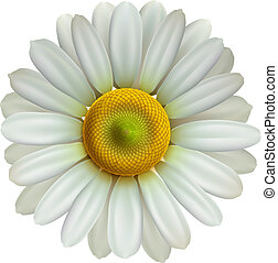 camomilla, eps10, vettore, fiore, illustrazione
