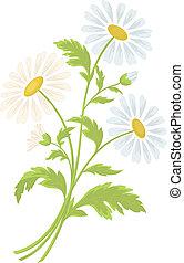 camomilla, fiori