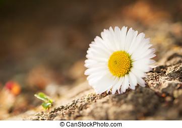 camomille, fleur
