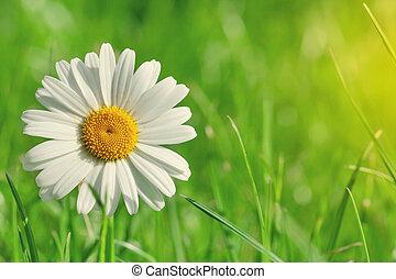 camomille, fleur, sur, champ herbe