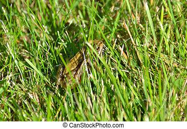 camouflé, herbe, grenouille commune, secteur