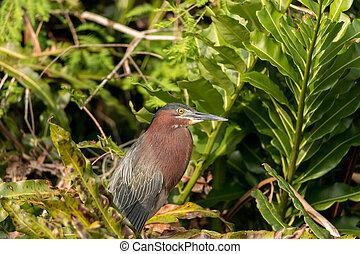 Camouflaged little green heron Butorides virescens bird in a...