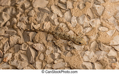 Lizard over stone background - Camouflaged Lizard over stone...