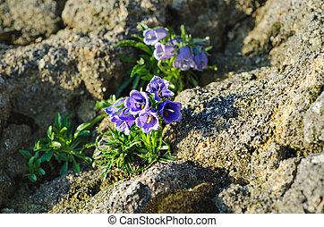 Campanula alpina - Blooming of blue mountain alpine ...