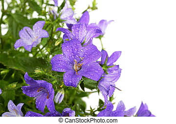 Campanula bell flowers with water drops