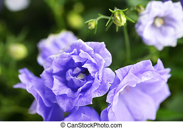 campanula bellflowers - Close-Up of blue colored Campanula ...