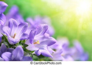 Dreamy shot of light purple campanula bluebell flowers in soft, warm sunlight, with blurry background and the sun