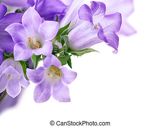 Campanula bells isolated on white