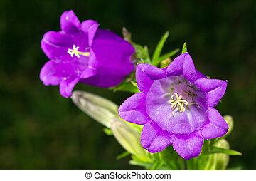 Campanula Flower - Purple bellflowers in a garden
