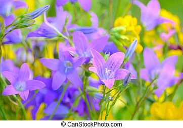 Campanula flowers on a meadow, close up view, selective ...