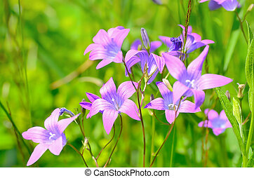 Campanula flowers on meadow, selective focus