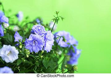 campanula flowers - blue campanula flowers on green...