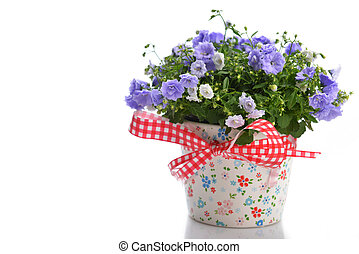 campanula flowers - blue campanula flowers in flower pot