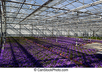Campanula in greenhouse
