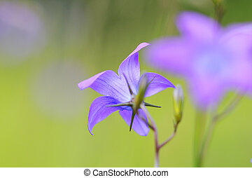 Campanula patula on a meadow.