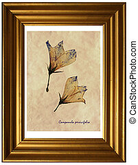Campanula persicifolia in herbarium - Herbarium from pressed...