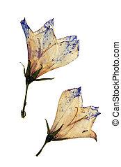 Campanula persicifolia in herbarium - Pressed and dried ...