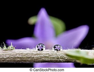 Campanula rotundifolia purple floer from the bell flower ...