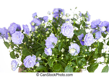 Campanula terry with blue flowers close up