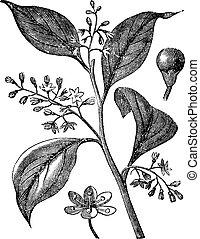 Camphrier officinal or Camphora officinarum vintage...