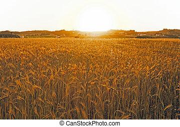 campi, granaglie, tramonto, sopra, PORTOGALLO
