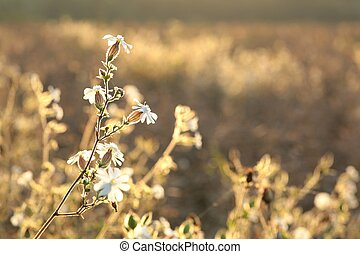 campion, latifolia), blanco, (silene
