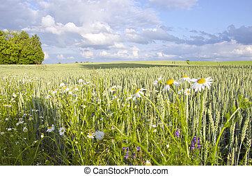 campo agrícola, planta, trigo, centeio, grãos, margarida