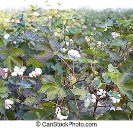 campo algodão