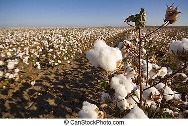 campo algodão, em, colheita
