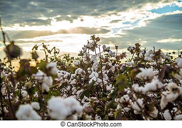 campo algodão, plantação, textura, fundo