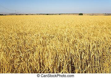 campo, amarela