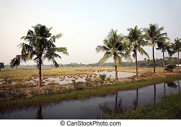 campo, arroz