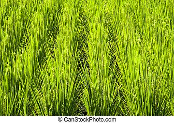 campo arroz, fragmento