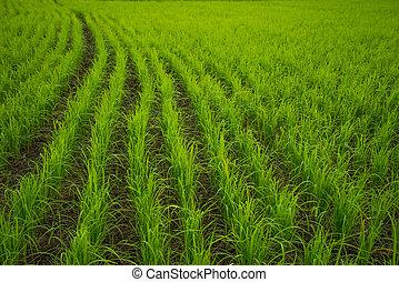 campo arroz, fundo