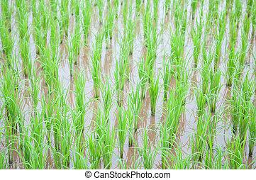 campo arroz, mostrar, agricultura, fundo