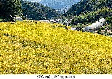 campo, arroz paddy