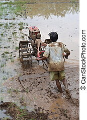 campo, arroz, trabajador