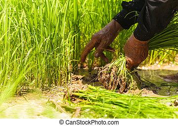 campo, arroz, trabalhando, agricultores
